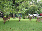 Deer on the campus